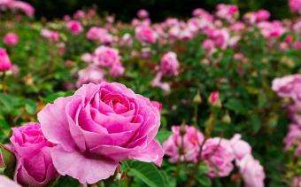 Празник на розата в Казанлък  и посещение на  Казанлъшката гробница
